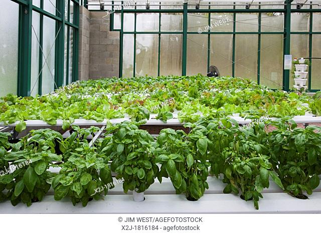 West Bloomfield, Michigan - Organic produce is grown hydroponically in a greenhouse at Henry Ford West Bloomfield Hospital  The produce is used in meals for...