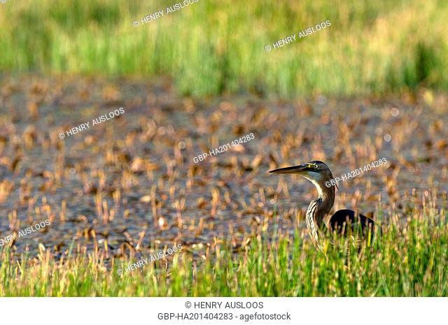 Purple Heron, Ardea purpurea, 31/05/2009