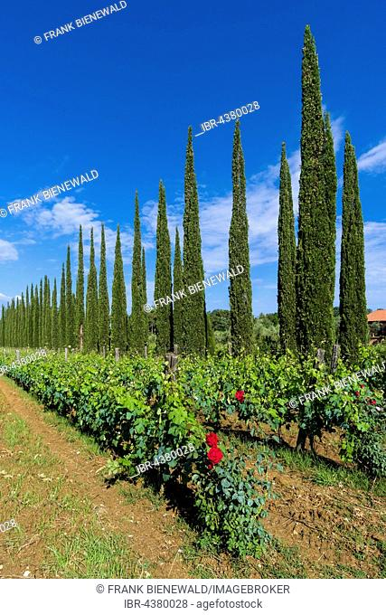 Typical green Tuscany landscape with cypresses, wineyards and red rose flowers, Boligheri, Tuscany, Italy
