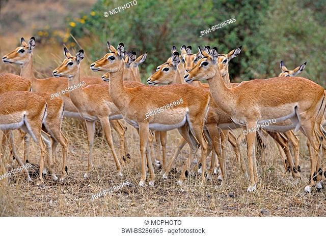 impala (Aepyceros melampus), group of females, Kenya, Masai Mara National Park