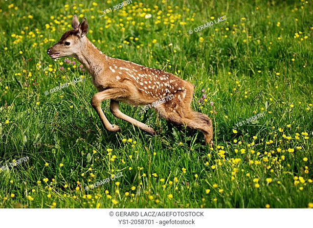 Red Deer, cervus elaphus, Fawn with Flowers, Normandy