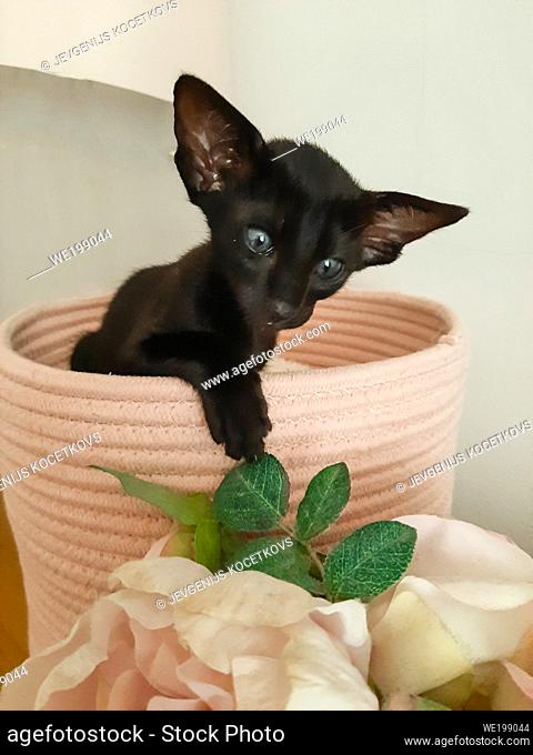 Oriental black kitten with big ears sits in pink bed