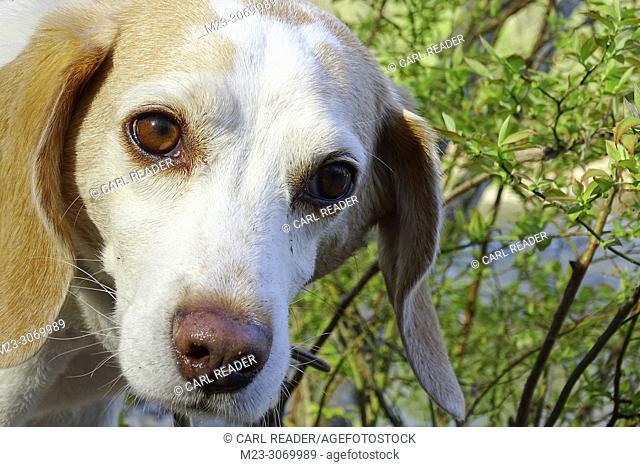 A thoughtful lemon beagle, Pennsylvania, USA