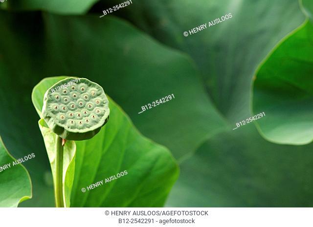 Sacred Lotus - Nelumbo nucifera, France, Thailand