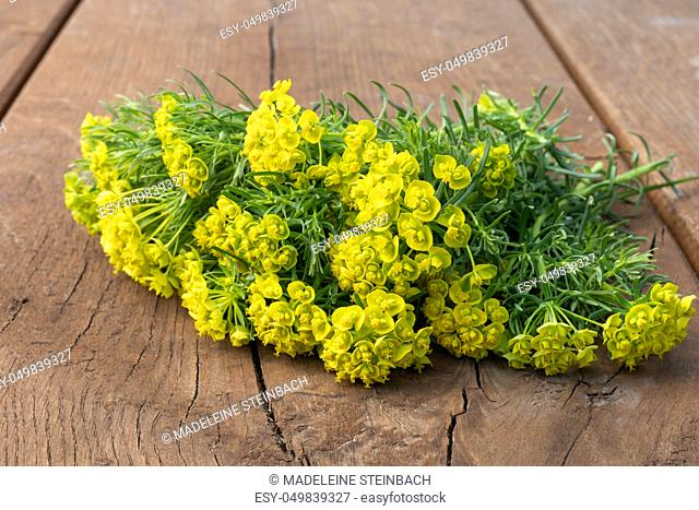 Fresh Cypress spurge, or Euphorbia cyparissias on a table