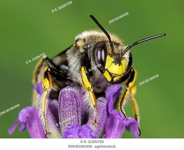 Wool carder bee (Anthidium manicatum), female foraging on English lavender (Lavandula angustifolia), Germany