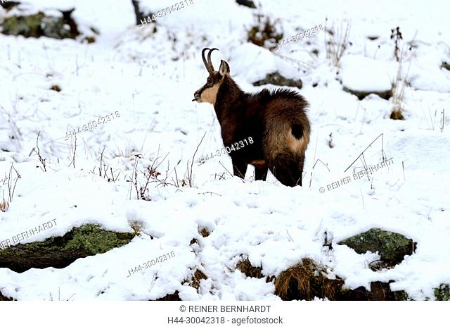 Mountain goat, Gams, Gams in winter, Gams in the winter coat, Gamsbrunft, chamois, chamois in winter, chamois in the winter coat, chamois