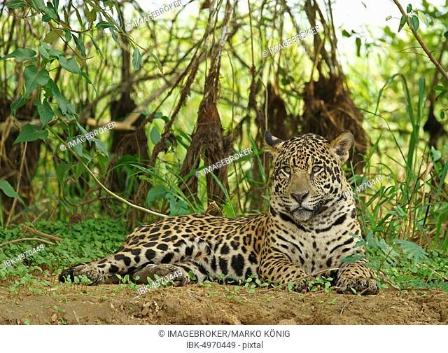 Jaguar (Panthera onca) lies on the riverbank, Pantanal, Mato Grosso, Brazil, South America