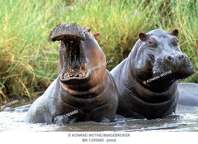 Hippos (Hippopotamus amphibius), Tanzania, East Africa