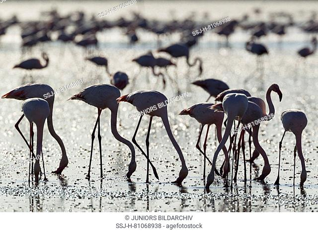 Greater Flamingo (Phoenicopterus roseus). Feeding by filtering the water with their beaks. At the Laguna de Fuente de Piedra near the town of Antequera