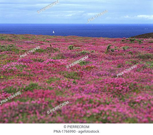 Flowering heather on the coast of Brittany, France