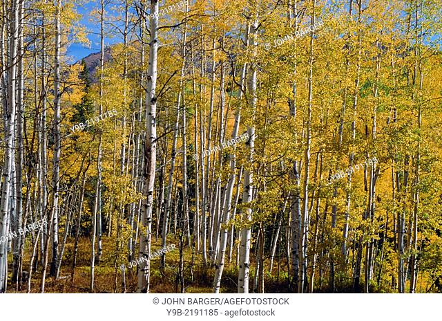 Aspen grove displays fall colors, near Kebler Pass, Gunnison National Forest, Colorado, USA