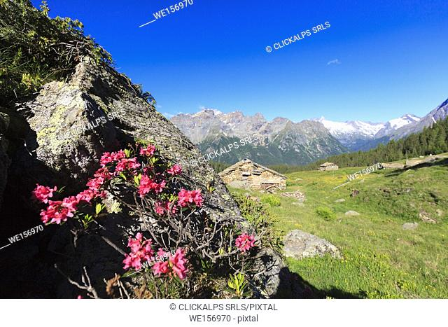 Rhododendrons among green meadows and hut framed by high peaks Alpe Roggione Malenco Valley Valtellina Lombardy Italy Europe