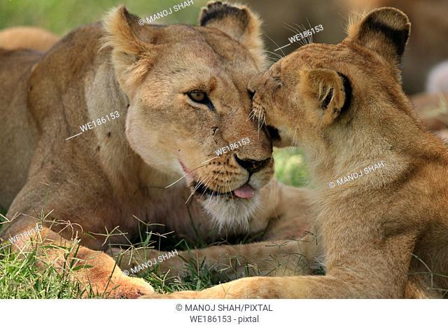 Lions, Masai Mara Natonal Reserve, Kenya
