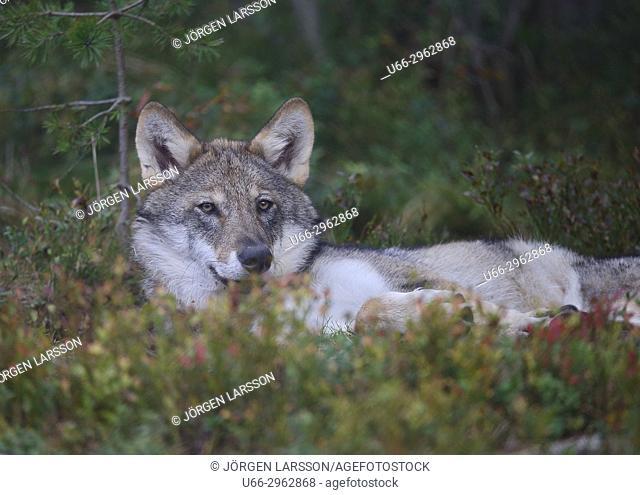 Wolf (Canis lupus), Gronklitt, Dalarna, Sweden