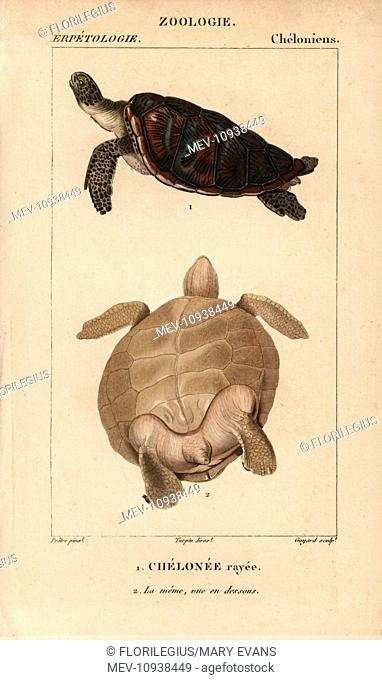 Green sea turtle, Chelonia mydas. Endangered species. . Handcolored copperplate stipple engraving from Jussieu's Dictionnaire des Sciences Naturelles 1816-1830