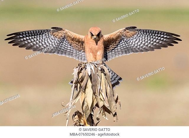 Red-footed Falcon (Falco vespertinus), adult female alighting on a dead corn plant