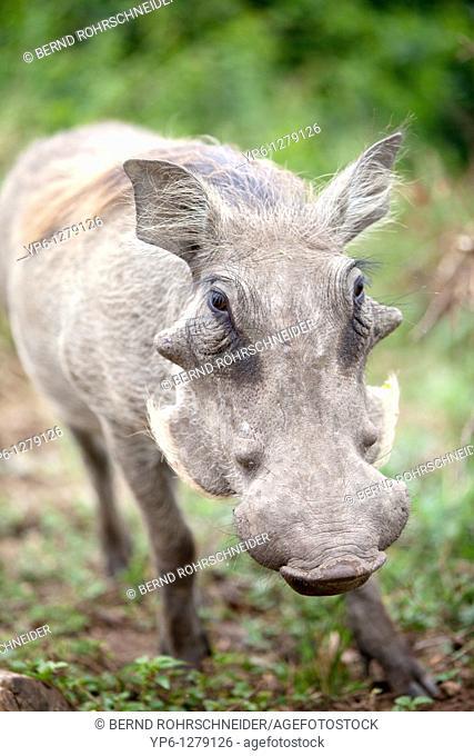 portrait of a Common Warthog, Phacochoerus africanus, Queen Elizabeth National Park, Uganda