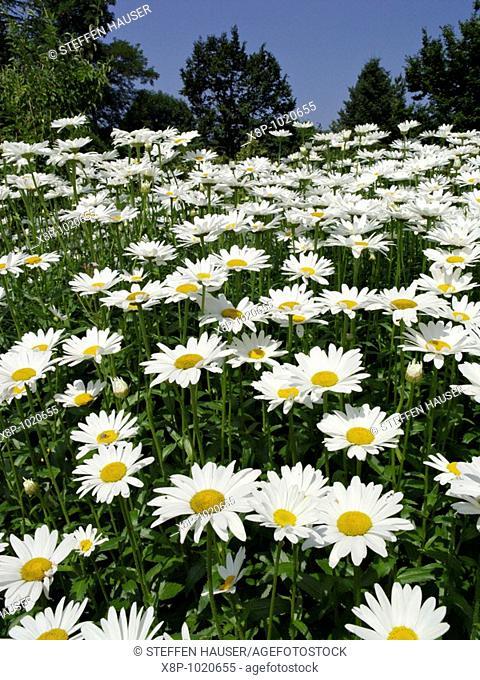 Daisy Leucanthemum maximum