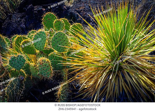Cactus on the Malpais Nature Trail, Valley of Fires Natural Recreation Area, Carrizozo, New Mexico USA