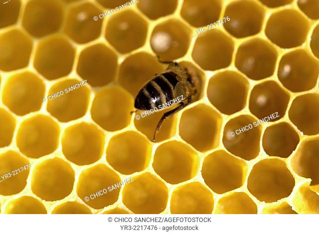 A honey bee works in a beehive of an apiary of Puremiel beekeepers in Los Alcornocales Natural Park, Cadiz province, Andalusia, Spain