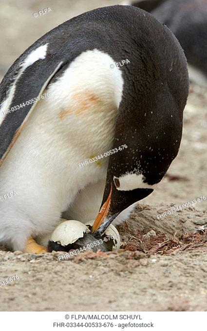 Gentoo Penguin Pygoscelis papua adult, helping hatching chick out of egg, Falkland Islands