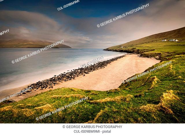 Grey Seal colony on Great Blasket beach, Blasket Islands, Ireland