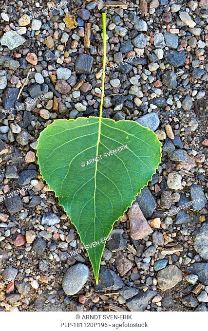 Black poplar (Populus nigra)fallen leaf on the ground in summer