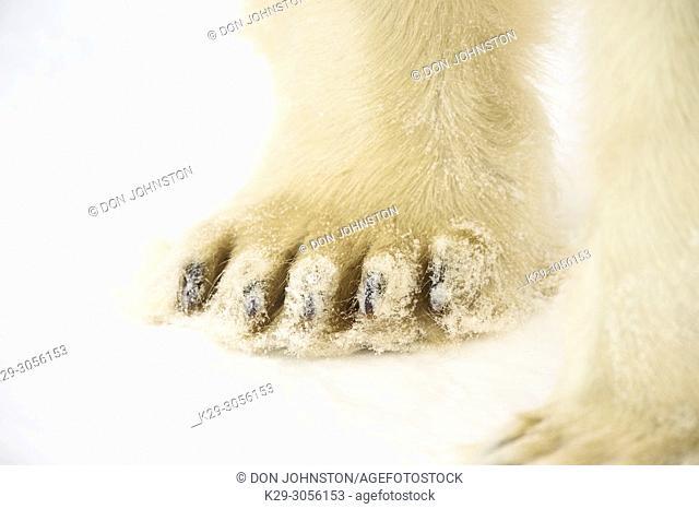 Polar Bear (Ursus maritimus) Legs and paws, Wapusk NP, Cape Churchill, Manitoba, Canada