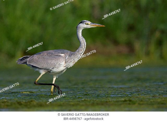 Grey Heron (Ardea cinerea), adult walking in water, Campania, Italy
