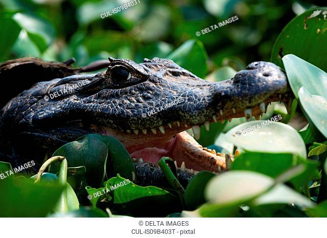 Head shot of two yacare caiman (Caiman crocodylus yacare) in wetland, Pantanal, Mato Grosso, Brazil