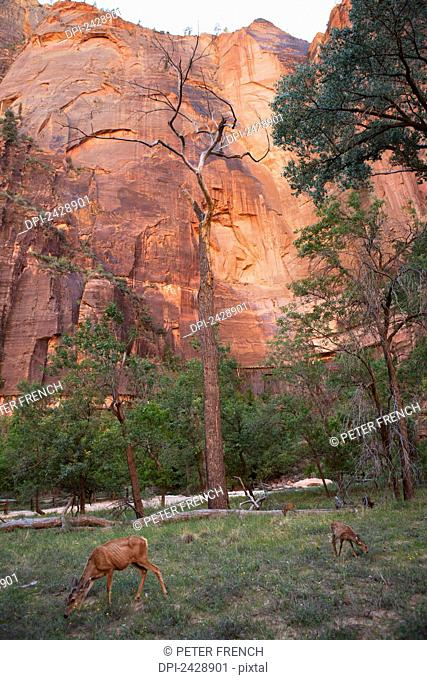 Deer walking along the Virgin River in Zion Canyon, Zion National Park; Utah, United States of America
