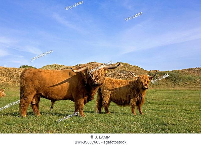 Scottish Highland Cattle (Bos primigenius f. taurus), herd on a meadow, Germany, Lower Saxony, Insel Langeoog