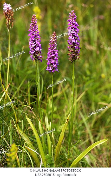 Fragrant Orchids Gymnadenia conopsea blooming on dry grassland in hillside. The Orchid gives off a slight cinnamon scent - Naturpark Altmuehltal