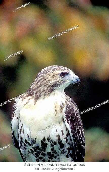 Red-tailed hawk, Buteo jamaicensis, close-up in fall foliage. Missouri, USA
