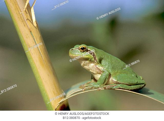Stripeless Tree frog (Hyla meridionalis). Southern France