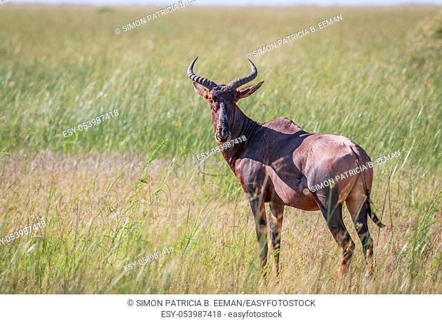 Tsessebe looking at the camera in the Chobe National Park, Botswana