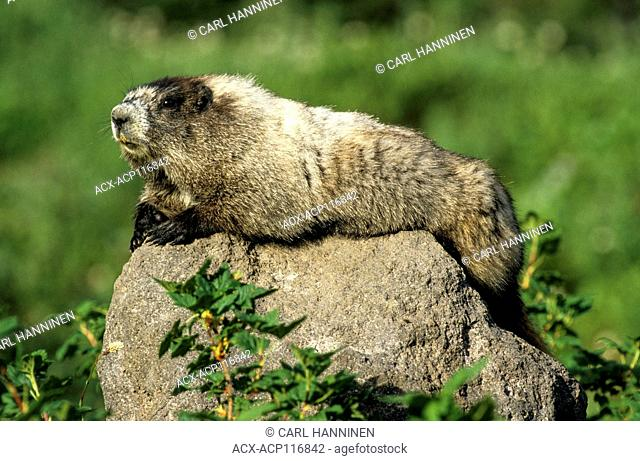 Hoary Marmot (Marmota caligata) lookout on rock, Mount Rainier National Park, Washington