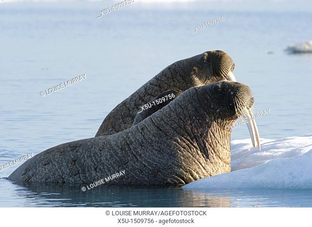 Atlantic walrus females with baby sheltered between their bodies