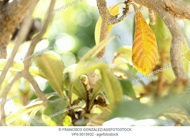Medlar leaves in winter the fruits are born. Horizontal shot with natural light
