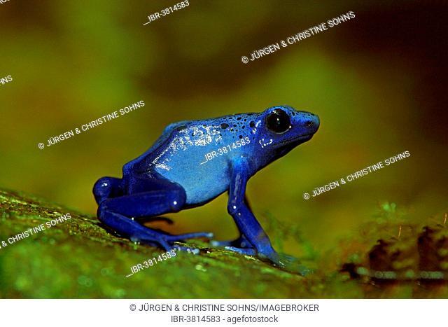 Blue Poison Frog (Dendrobates tinctorius), captive, Miami, Florida, USA