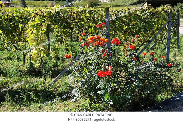 Italy, panorama of vineyards of Piedmont Langhe-Roero and Monferrato on the World Heritage List UNESCO. Roses in vineyards Italy, Piedmont, Vineyards