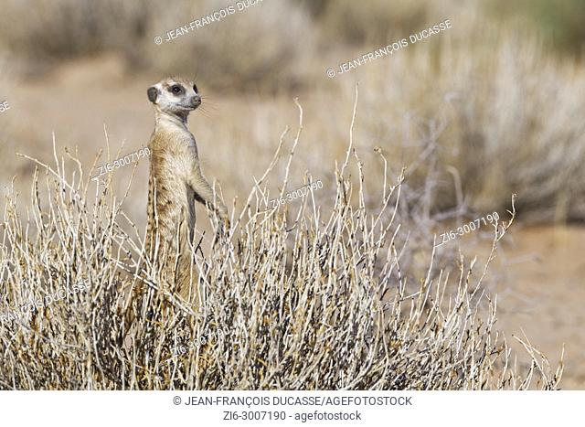 Meerkat (Suricata suricatta), standing in balance in the middle of a bush, alert, Kgalagadi Transfrontier Park, Northern Cape, South Africa, Africa