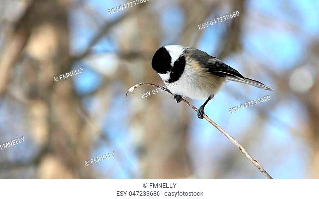 Black-capped Chickadee in the woods