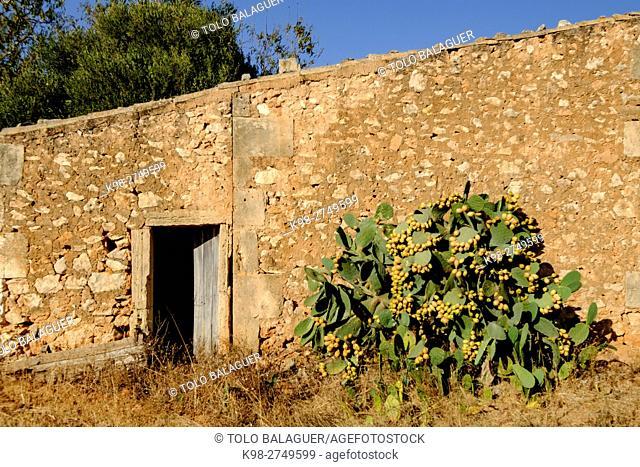 chumbera frente a una antigua casa de aperos, Ses Salines, Majorca, Balearic Islands, Spain