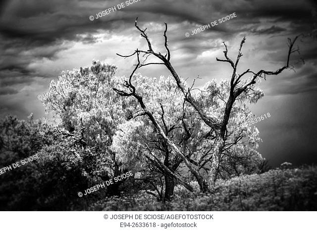 A field of Damianita (Chrysactina mexicana), with mesquite trees in Texas in the spring. Black & white