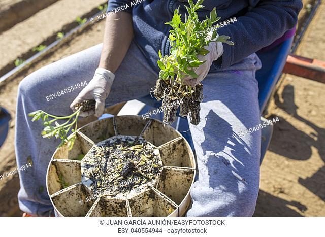Worker feeding transplanter machine carousel. Tomato planting process. Overhead shot