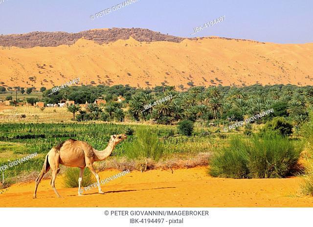 Dromedary (Camelus dromedarius) at the oasis, Moudjeria, Tagant region, Mauritania