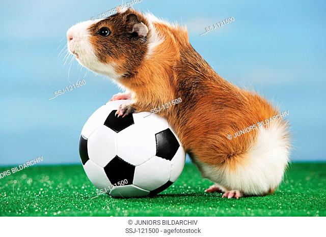 world championship of soccer : guinea pig with ball