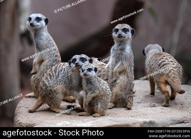 17 August 2020, Lower Saxony, Hanover: A young meerkat is sitting on a rock in the Hannover Zoo with his fellow species. Photo: Sina Schuldt/dpa